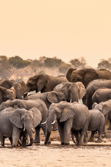 Wall Mural - Herd of African Elephants