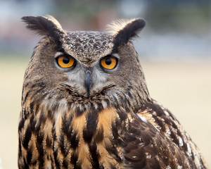 Great Horned Owl / close up of a Great Horned Owl