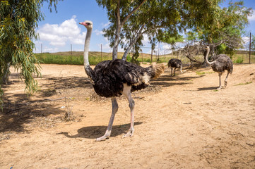 Ostriches on the ostrich farm in Israel