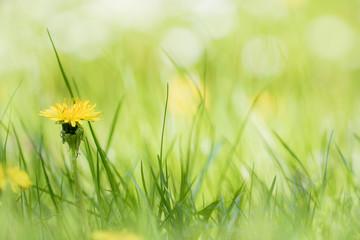 Eine Frühlingswiese mit blühendem Löwenzahn