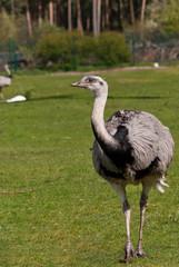 ostrich bird on grass