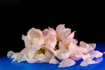 Spring petals and flowers of the Apple-tree on a blue and black background. Small depth of field