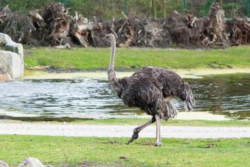 ostrich bird on river