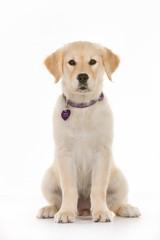 Young Golden Retriever Puppy in Studio