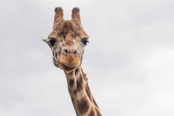 Portrait of a giraffe . The animal looks directly into the camer