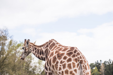 Rear part of a reticulated giraffe