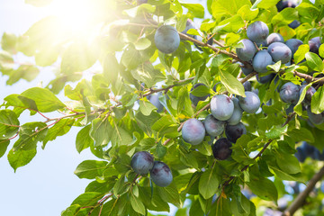 Plum tree with ripe juicy fruits in sunshine