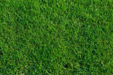 Bermuda grass background. Wall mural