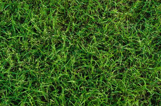 Lush green bermuda grass close up.