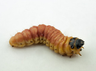 maggot of chafer