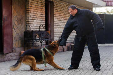 German shepherd dog in training