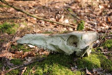 skelettierter Rehkopf