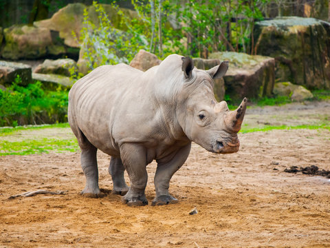Black Rhinocero - Diceros bicornis