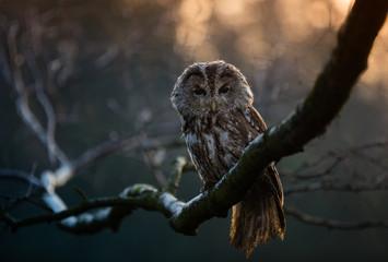 Portrait of a Tawny Owl (strix aluco)