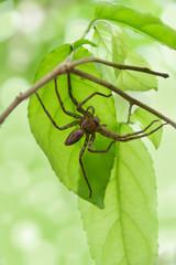 Tropische Riesenkrabbenspinne - Hetreopoda venatoria auf Insektenjagd am Zweig mit Blättern