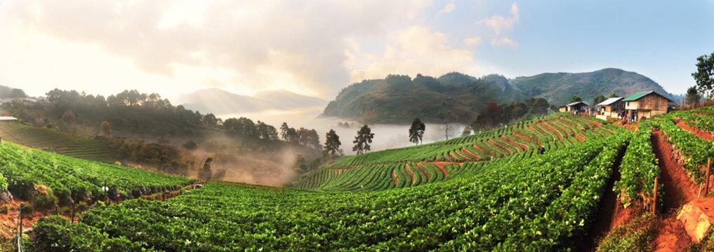 Panorama of Strawberry Farm at Doi Ang Khang, Chiang Mai, Thaila