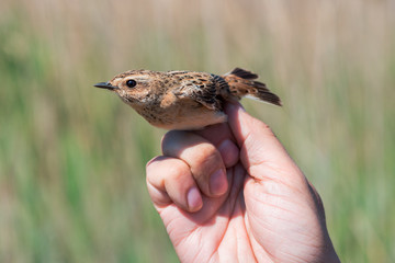 Ornithologist holds female whinchat in his hand