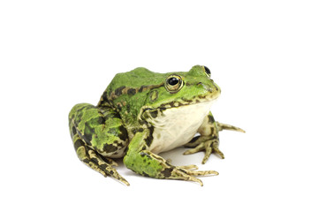 great spotted marsh frog on a white background