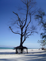 Old Casuarina Tree Roots Exposed On Beach