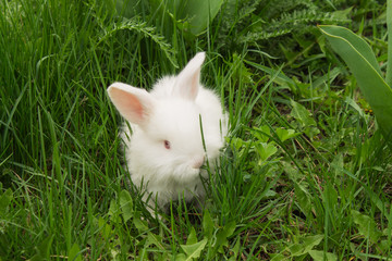 White baby rabbit in the grass eating grass.