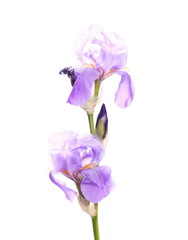 iris flower isolated on white