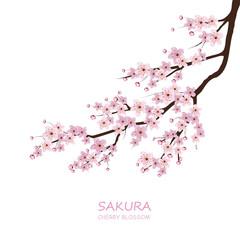 Cherry Blossom. Pink sakura flowers