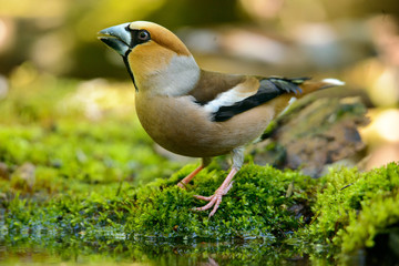 hawfinch, sitting in the water, the bird in a nature habitat, spring nesting, reflection