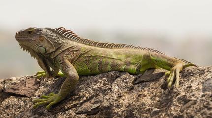 The green  iguana.