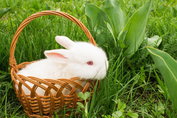 White small rabbit baby in a basket on the  grass. Soft focus