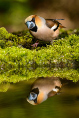 Hawfinch Coccothraustes coccothraustes at the water