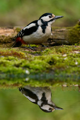 Great Spotted Woodpecker taking a nice cool bath.