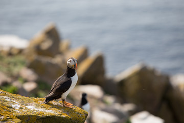 Puffins on the edge of the cliff, Saltees Island, Ireland