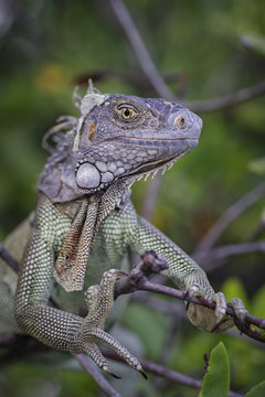 Iguana on branch looking at camera smiling, St. Croix, US Virgin Islands