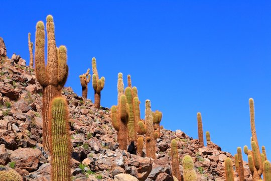 アタカマ砂漠のサボテン