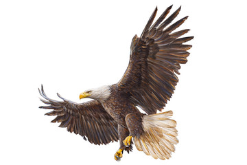 Bald eagle landing hand draw on white background vector illustration.