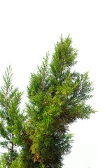 Pine tree branch isolated on white