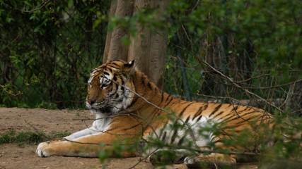 Sleepy big tiger
