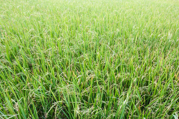 Rice fields background.
