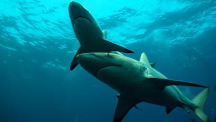 Shark family in ocean