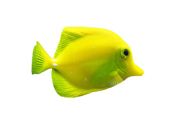Isolated brightly colored yellow tang fish