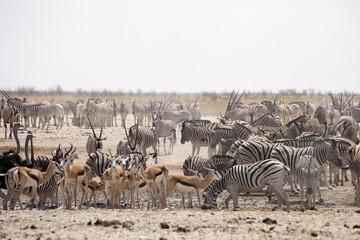 huge herds of zebra and antelope at waterhole Etosha, Namibia