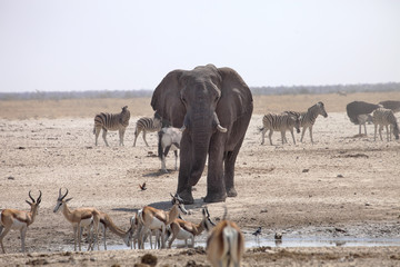 elephants and herds of zebra and antelope wait through the midday heat at the waterhole Etosha, Namibia