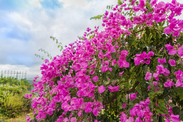 Beautiful view on the flowers of bougainvillea,blooming in the greek garden at summer day.Picturesque floral background.Region of Chania.Crete island.Greece.Europe.