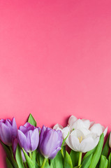 Purple and White tulips on gradient pink background with copy sp