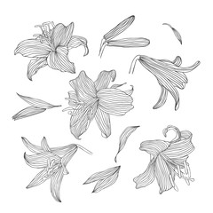 Engraving hand drawn set of  illustrations flower lily.