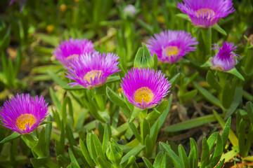 Carpobrotus edulis pink ice plant