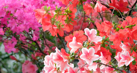 Spoed Fotobehang Azalea Beautiful blooming azalea