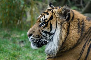 Tiger Portrait von der Seite