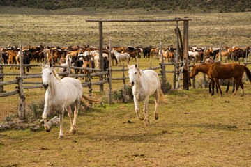 Herd of horses being rounded up into western corral.