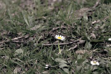 Foto auf Leinwand Ganseblumchen Madelijfje in het gras